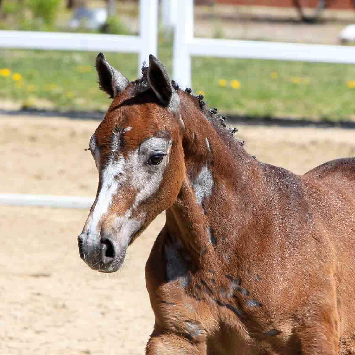 3rd Verden Auction Online Foals | HANNOVERANER VERBAND E.V.